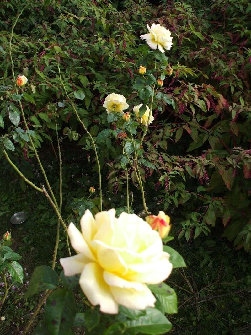 Tutori Per Rose Rampicanti taglia rose rampicanti | forum di giardinaggio.it