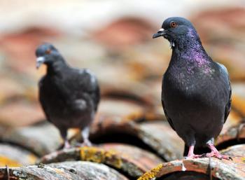 tuer pigeons ville