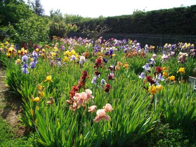 Les iris culture multiplication entretien vari t s for Entretien jardin 94