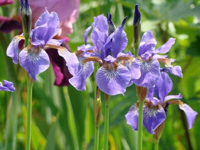 Mon jardin d 39 iris cette ann e for Aubade jardin d iris