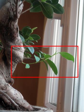 mon premier bonsa mes premiers bonsai pr sentation et premiers projets forums parlons bonsai. Black Bedroom Furniture Sets. Home Design Ideas