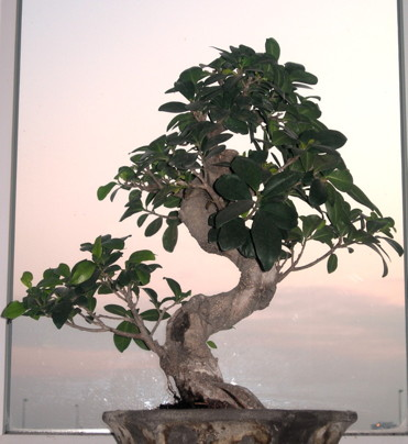 ficus ginseng mes premiers bonsai pr sentation et premiers projets forums parlons bonsai. Black Bedroom Furniture Sets. Home Design Ideas
