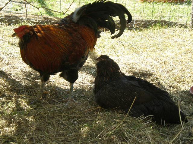 Gallinette.net pour le bien être de nos poulettes - Qui