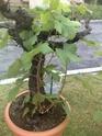 Comment replanter une vigne au jardin forum de jardinage - Comment planter une vigne ...