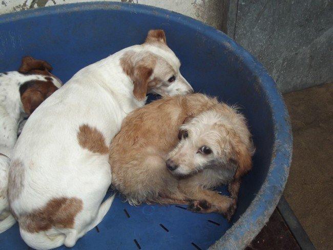 retrait de 47 chiens le 05 08 11 b thune besoin aide. Black Bedroom Furniture Sets. Home Design Ideas