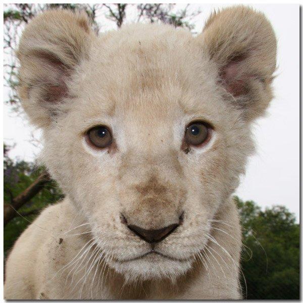 lion-b10