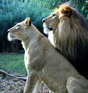 lion-l10