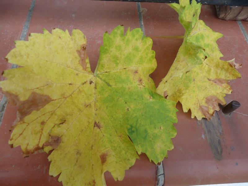 Plantation raisin chasselas page 15 au jardin forum de jardinage - Feuilles de rosier qui jaunissent ...