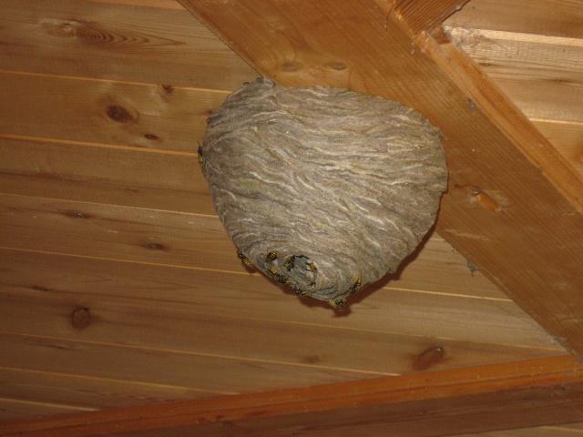 Nid de guepes franck - Enlever nid de guepe ...