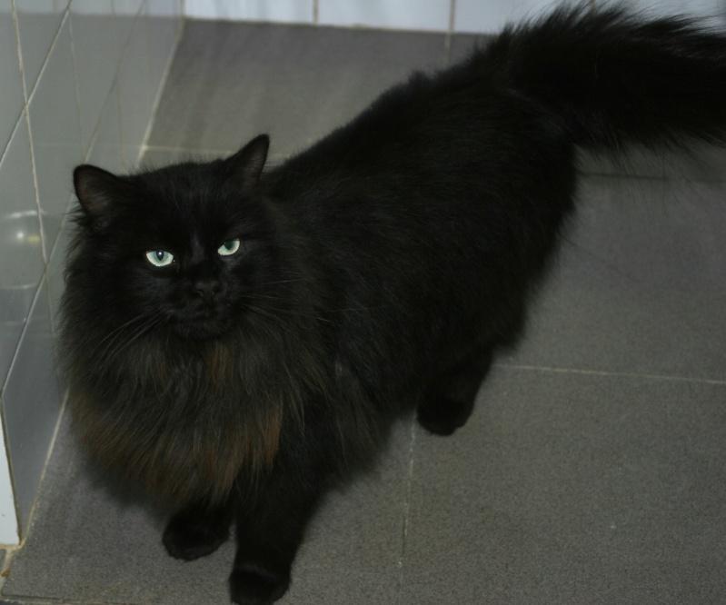 trouv la salvetat chat noir poils longs nathc. Black Bedroom Furniture Sets. Home Design Ideas
