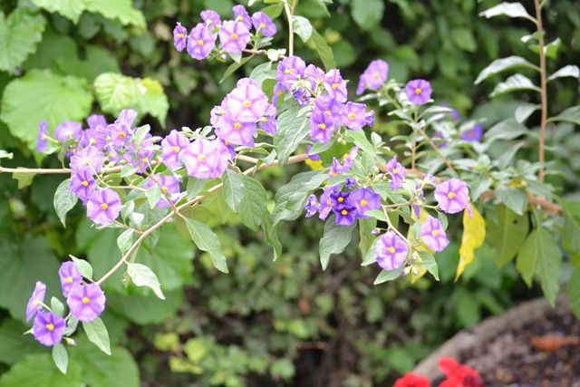 arbuste fleurs bleues solanum rantonetti. Black Bedroom Furniture Sets. Home Design Ideas
