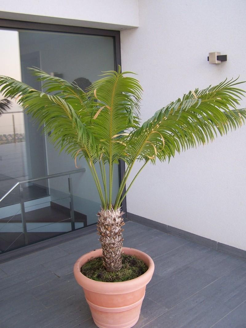 Dioon spinulosum - Plantes d exterieur resistant au froid ...