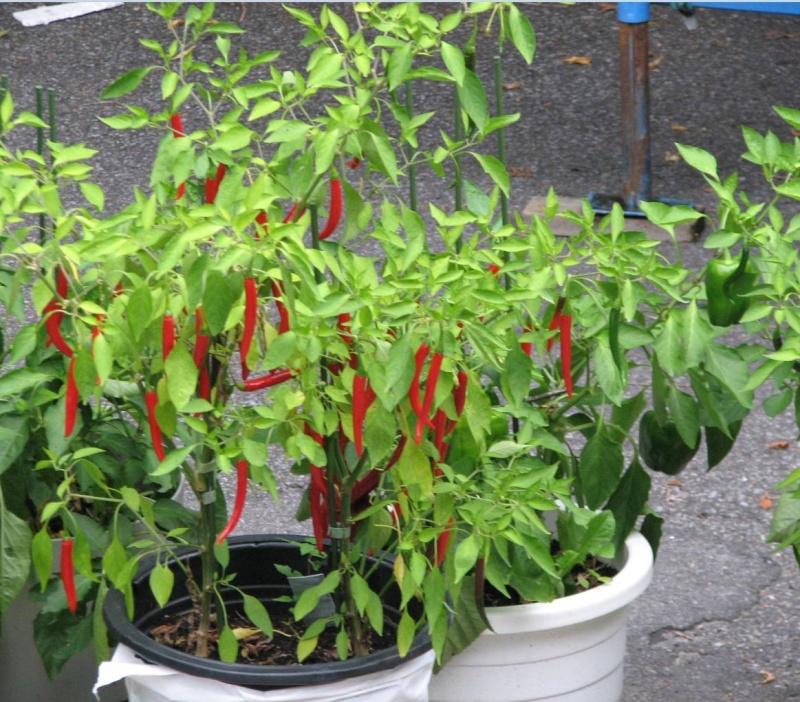 Afficher le sujet piment de cayenne que faire - Piment de cayenne culture ...