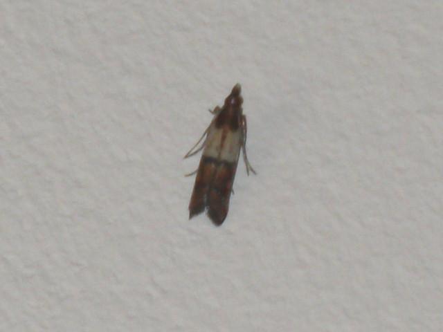 plodia interpunctella identification le monde des insectes. Black Bedroom Furniture Sets. Home Design Ideas