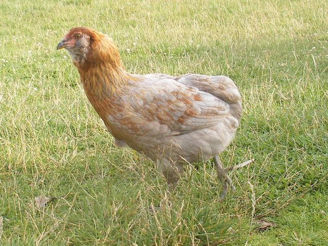Mes auraucanas for Oeuf de poule conservation
