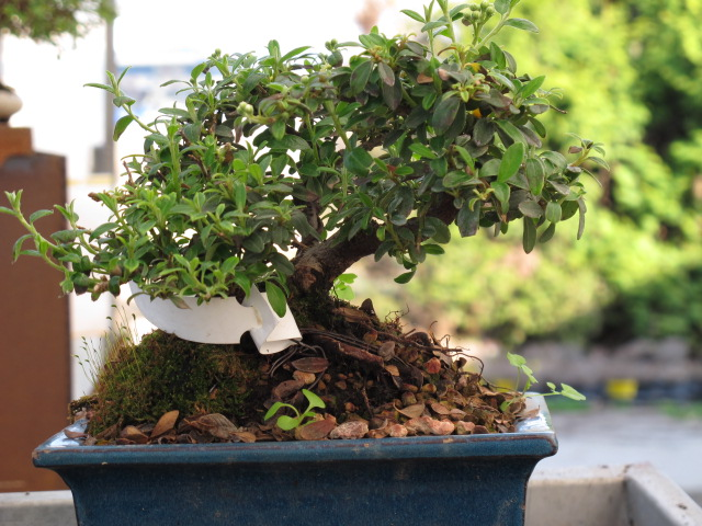 Bonsai con pochi euro for Bonsai costo