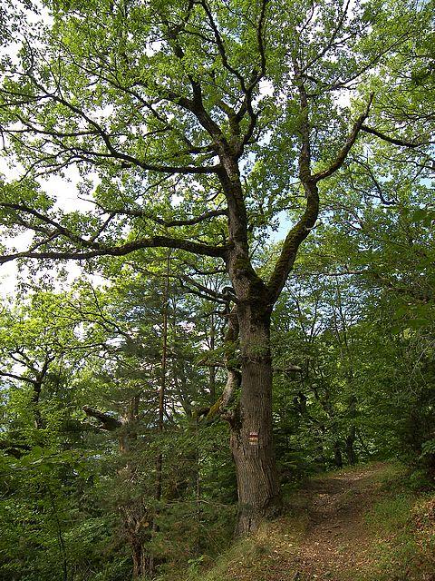 Les branches et feuilles de ch ne - Detruire souche arbre rapidement ...
