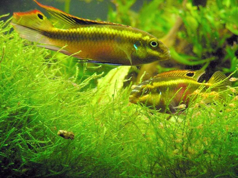 Les diff rents poissons d 39 afrique de l 39 ouest et du congo for Bac communautaire poisson rouge