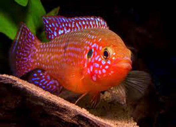 Les diff rents poissons d 39 afrique de l 39 ouest et du congo for Alimentation des poissons rouges