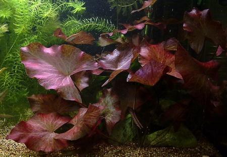 quelles plantes aquatiques dispos es dans mon aquarium. Black Bedroom Furniture Sets. Home Design Ideas