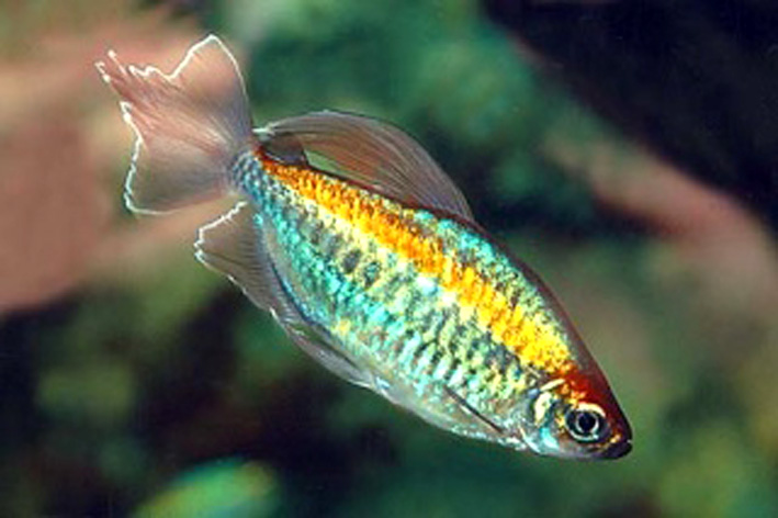Les diff rents poissons d 39 afrique de l 39 ouest et du congo for Poisson tetra rouge