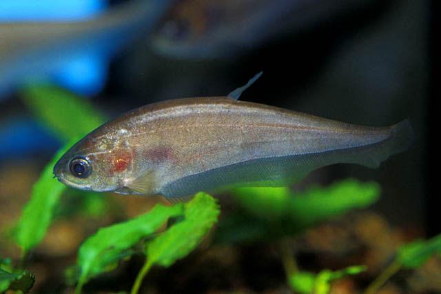 Souvent Les différents poissons d'Afrique de l'Ouest et du Congo EA65