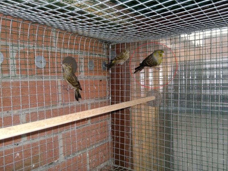 Nieuw wilde kanarie (serinus canaria) [Archief] - VogelCafé Forum BO-77