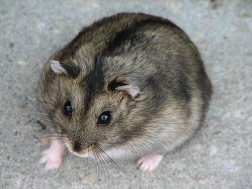 Fiche le hamster - Hamster russe panda ...