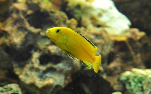 Donne poissons malawi for Donne poisson