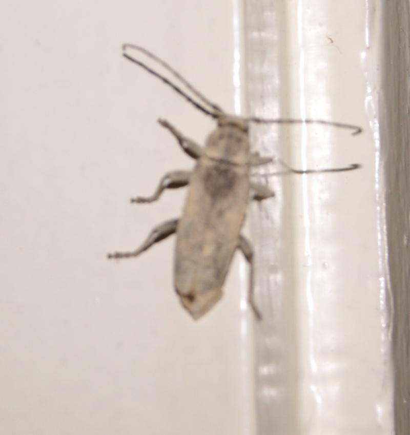 Identification d39insectes dans le parquet for Insecte parquet