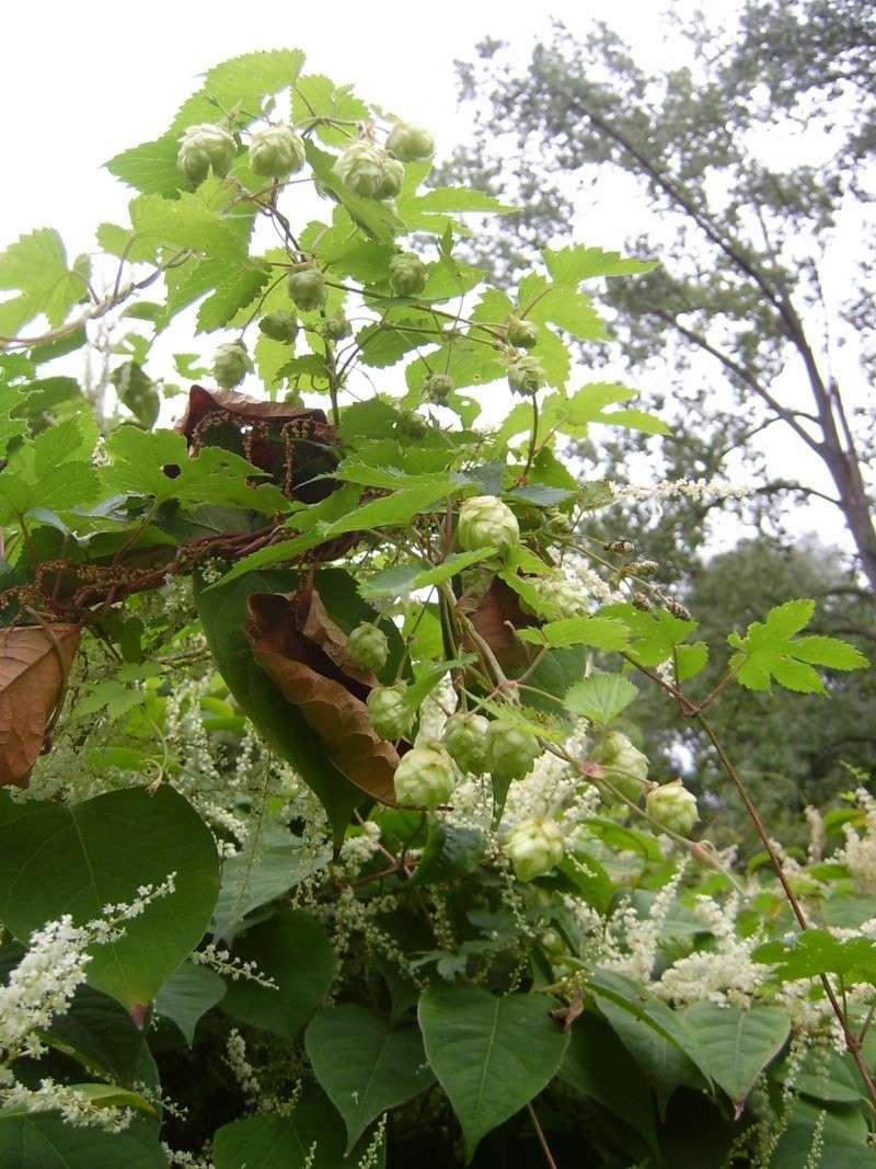 Cultiver le houblon dor - Rustica