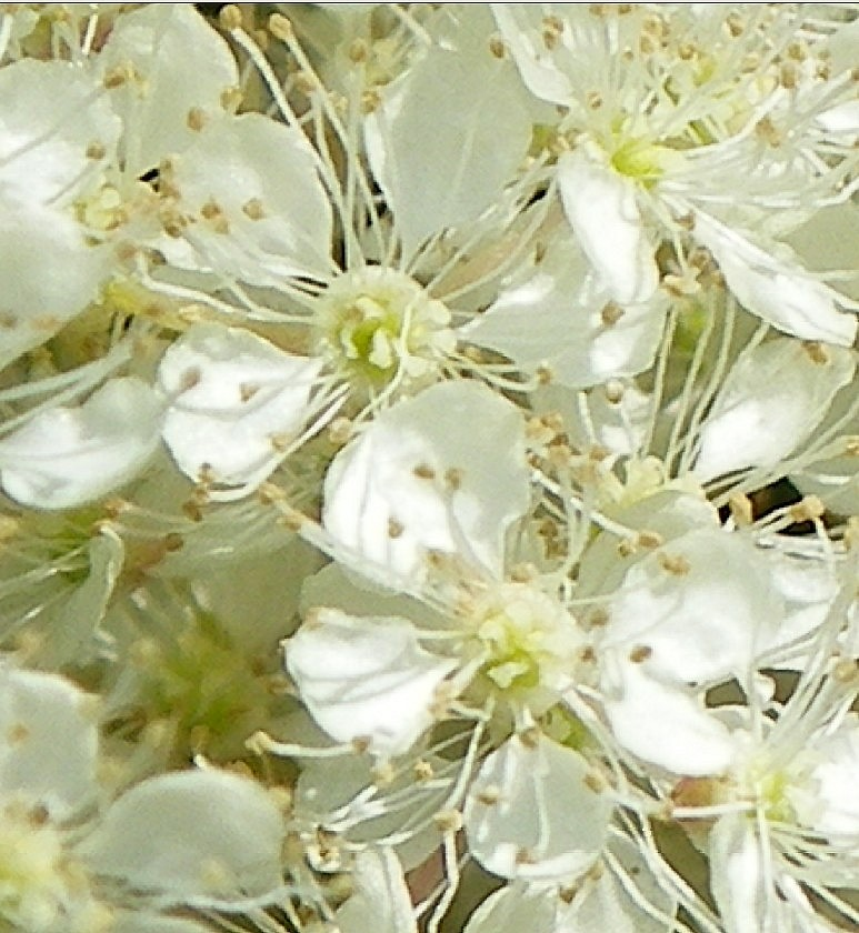 La reine des pres for Plante 7 folioles