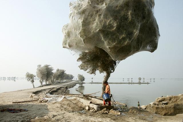 zoologie inondation 2010 phénomène étrange cocons de soie dans les arbres réduction du paludisme forum ethologie arachnide