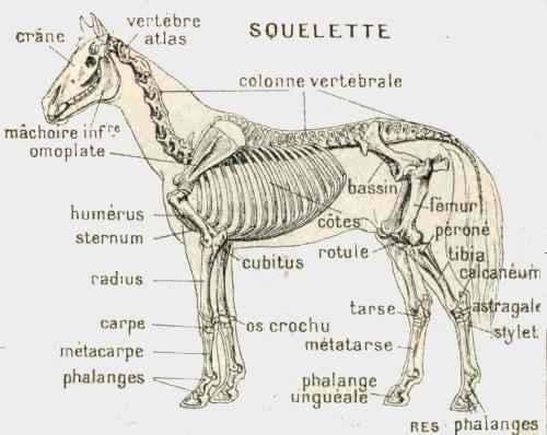 anatomie de la vache pdf