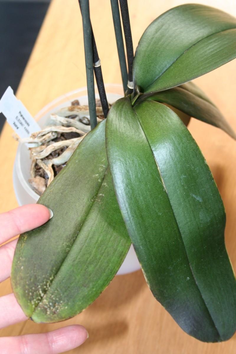 Mon jardin d 39 orchid es avec exemple de plante en stress for Plante 5 doigts bahamas