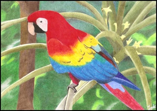 Perroquet ara - Dessins de perroquets ...