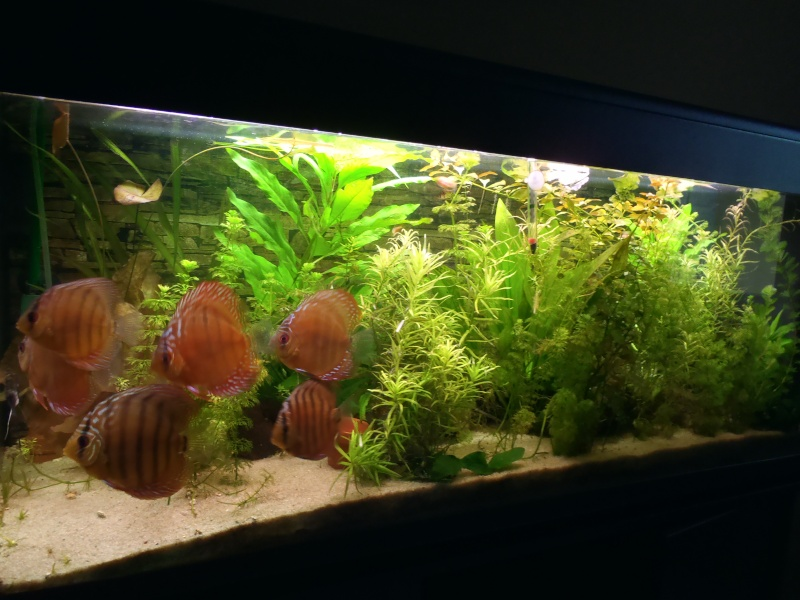 un de mes aquarium 250 l avec mes discus. Black Bedroom Furniture Sets. Home Design Ideas