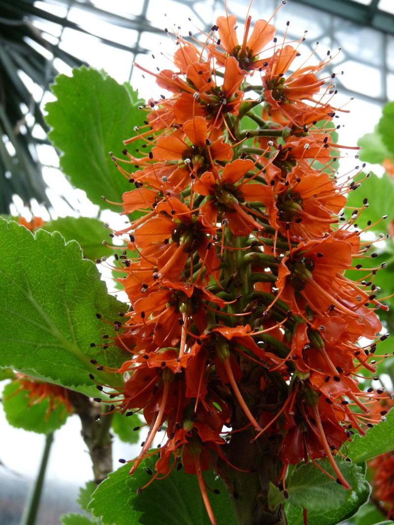 Photos d 39 arbustes rince bouteille du natal greyia for Arbuste en anglais
