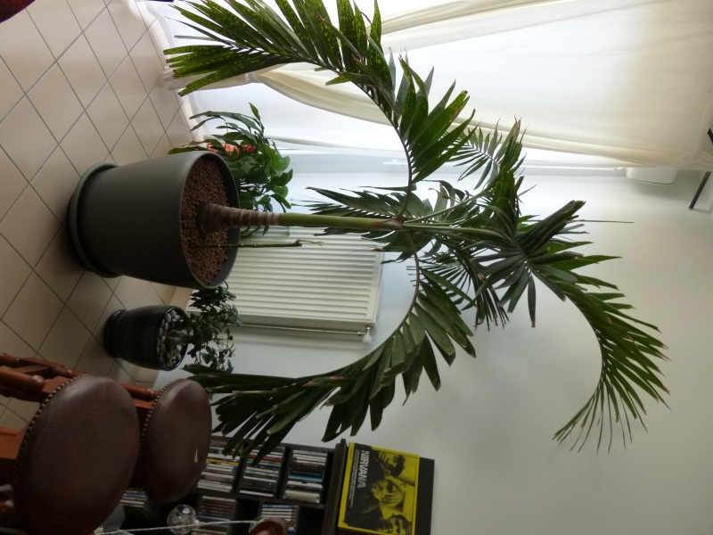 quel est mon palmier besoin d 39 aide pour l 39 entretien merci. Black Bedroom Furniture Sets. Home Design Ideas