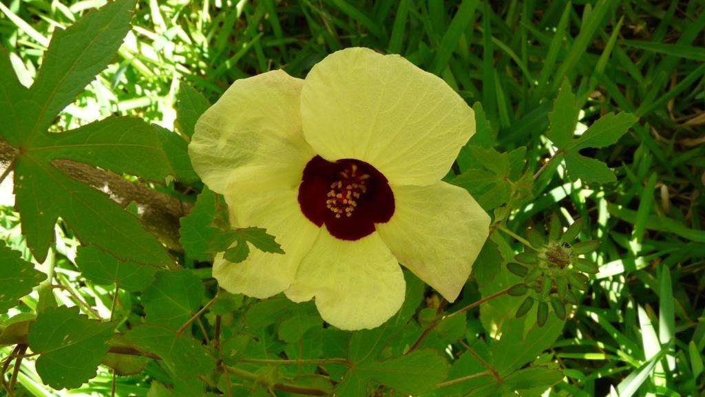 Identifiee Hibiscus Surattensis Identification Au