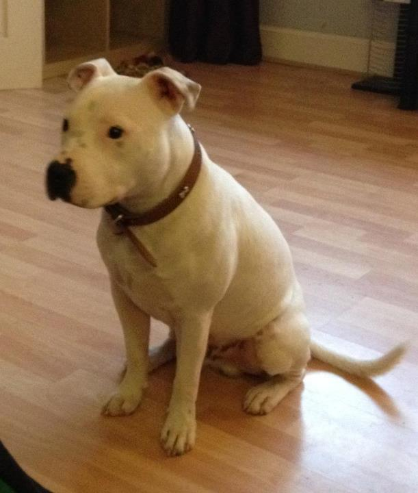 Dogs Staffy White Pach On It S Eye